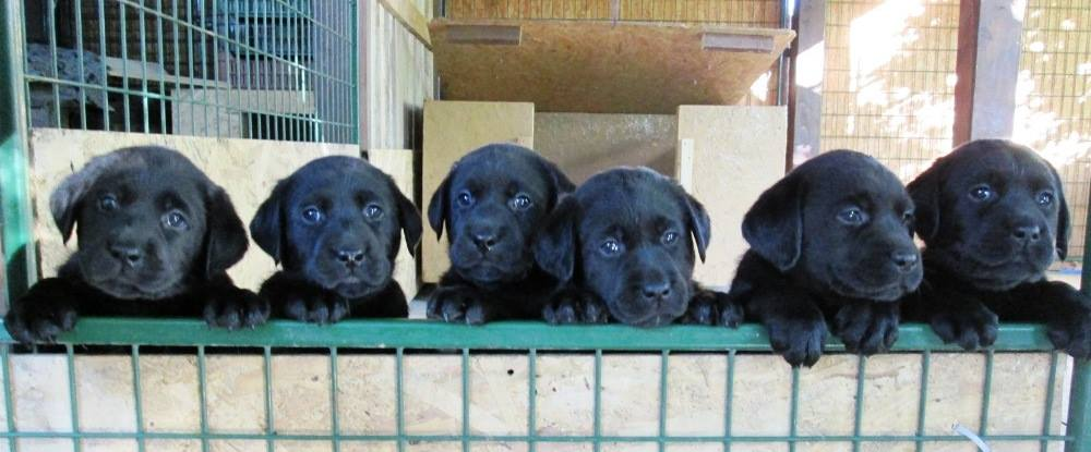 Chap Hooligans Puppies Photo